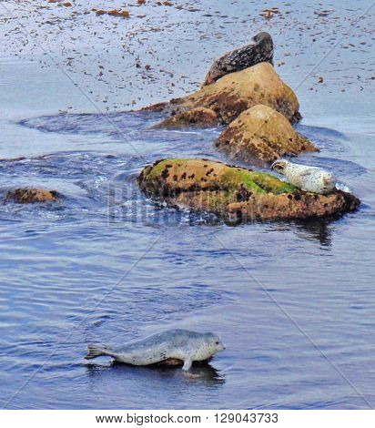 Three basking Pacific Harbor Seals, Monterey Bay California