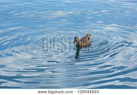 Blue minimalist waterscape with one duck,minimalist misty lake, one duck swimming  over sunrise lake, evening mist covering lake, Marsaxlokk