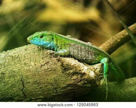 nimble exotic green lizard in the leaves froze