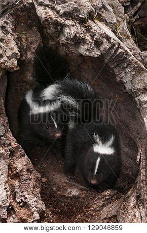 Baby Striped Skunks (Mephitis mephitis) Explore Log - captive animals