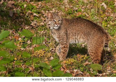 Bobcat (Lynx rufus) Looks Back - captive animal