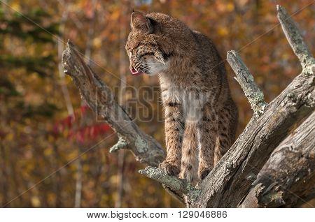 Bobcat (Lynx rufus) Licks Chops Profile - captive animal