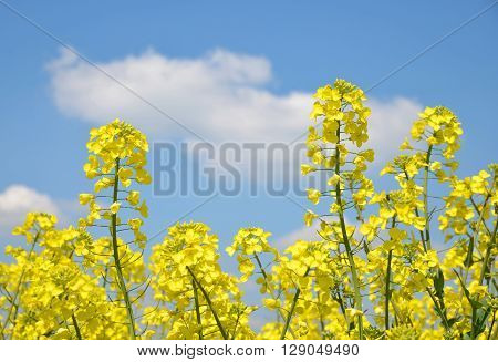 Flower of a rapeseed on blue sky