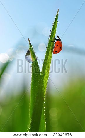 Fresh morning dew on green grass and ladybird. Natural background.