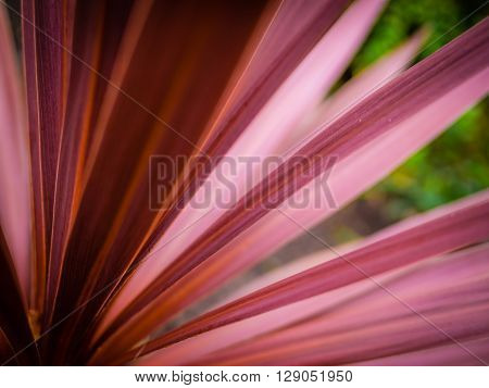 Close up detail of the Cordyline flower in spring in the garden
