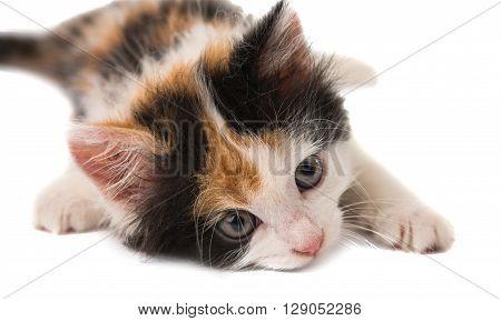 little kitten on white background , orange, paw,
