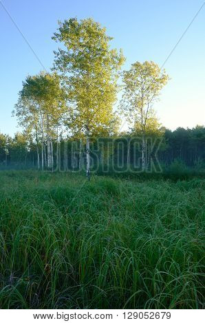 Early Morning Light on Aspen Trees in Meadow near the Rice Creek North Regional Trail in Shoreview Minnesota