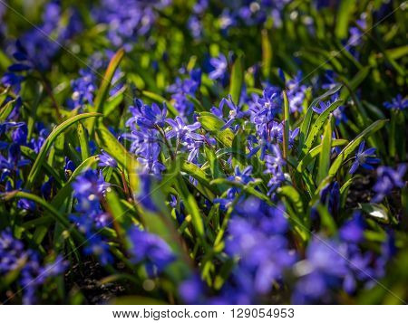 Blue hyacinth among grass in the park in spring