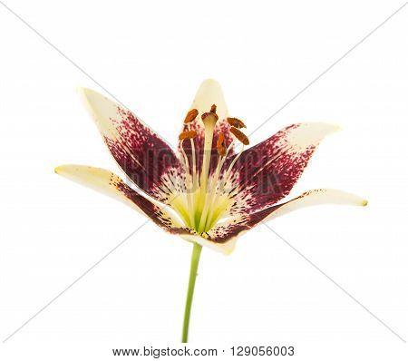 lily on a white backgroundl, botanical, fragrance,