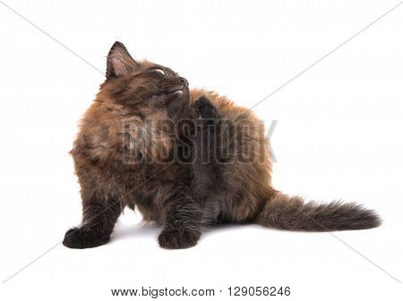 black kitten on a white background mammal, needy,