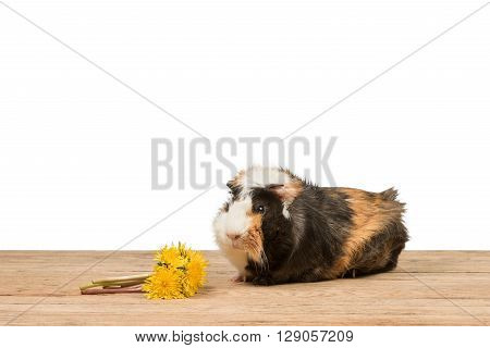 Guinea pig next to a bouquet of dandelions on an old wooden table isolated on a white background