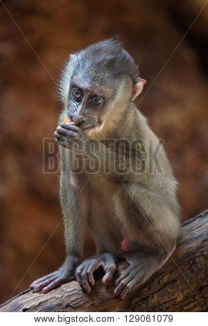 Little drill monkey (Mandrillus leucophaeus). Wild life animal.