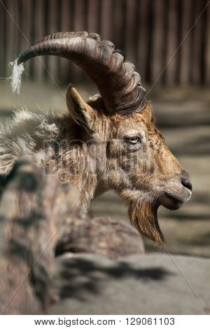 West Caucasian tur (Capra caucasica), also known as the West Caucasian ibex. Wild life animal.