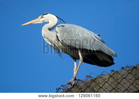 Great blue heron (Ardea herodias). Wild life animal.