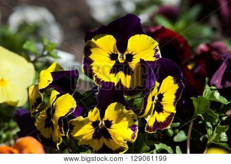 Garden pansy (Viola tricolor var. hortensis).