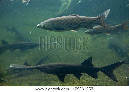 Grass carp (Ctenopharyngodon idella) and American paddlefish (Polyodon spathula). Wild life animal.