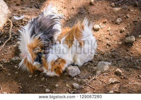 Nice and fluffy guinea pigs playing in a garden
