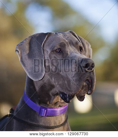 Purebred Great Dane head shot as the sun is going down