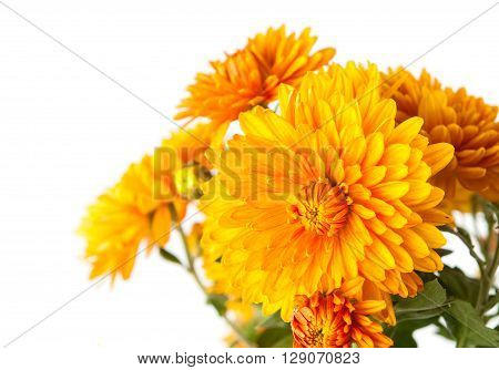Orange chrysanthemum on white backgroundbed, blossom, botany,
