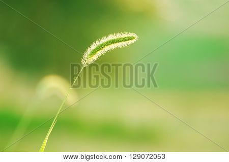 selective focus of foxtail grass against green background in spring