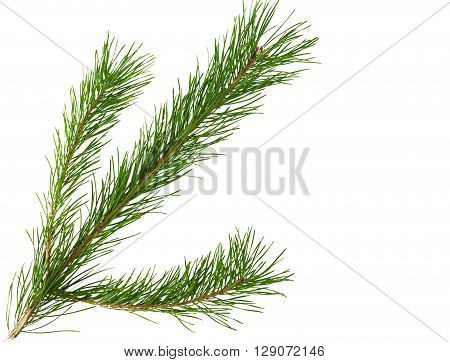 pine branch on a white background, pinecone, feast,