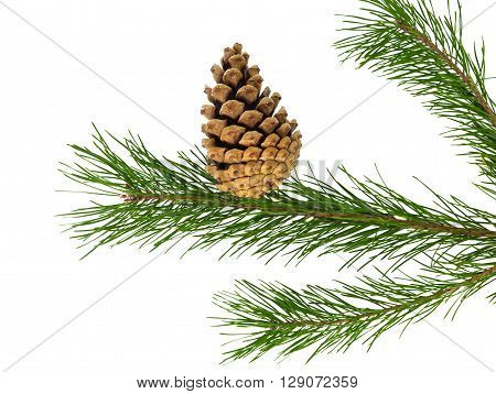 pine branch on a white background, pinecone, feast, f