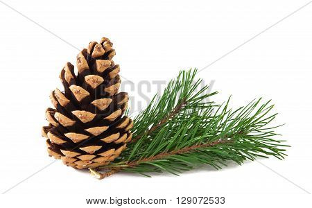 pine branch on a white background celebrate, studio, pinecone,
