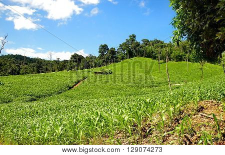 Food Maize Corn Crop Summer Maize corn food crop growing over the rural countryside on a blue summers day
