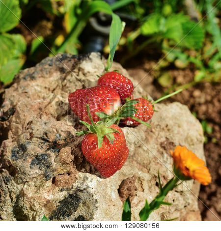 closeup of some ripe strawberries on a rock, in an organic orchard