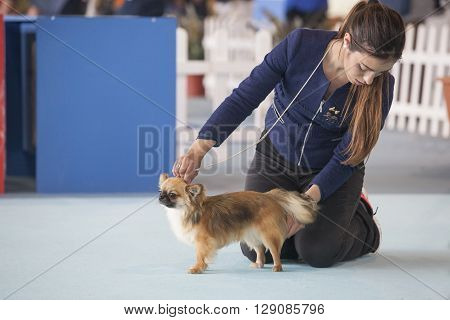 Badajoz Spain - May 8 2016: 32 International Exhibition Ed. of dogs. Dog under the care of its owner during the exhibition contest