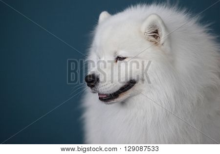 Portrait of Smiling Sammy dog isolated over blue background