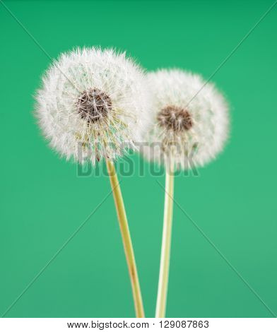 dandelion flower on light green color background, many closeup object