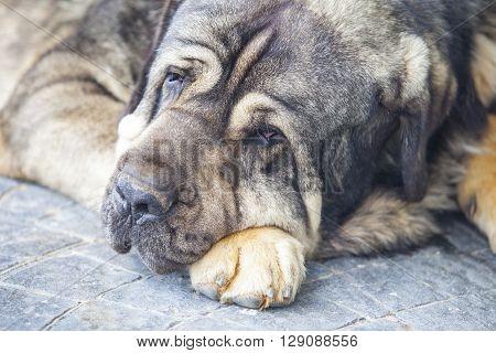 portrait of Big Mastiff dog resting over the floor