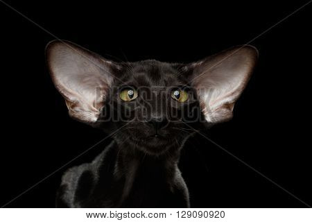 Closeup Portrait of Green Eyed Oriental Kitten With Big Ears Looking at camera on Black Isolated Background