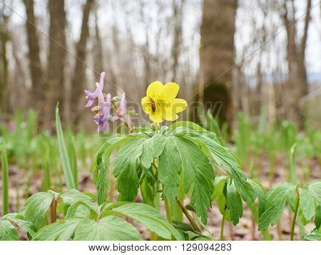 Flower  Yellow Buttercup .