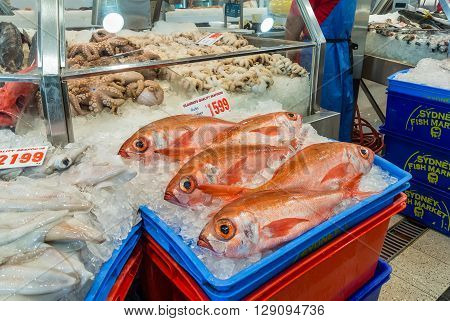 Sydney Australia - November 11 2014: Fresh Ruby Snapper fish and other seafood on the Famous Sydney Fish Market Sydney New South Wales Australia.. 52 tonnes of seafood are selling at auction on this market every day.