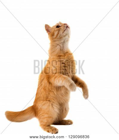 cat isolated on white backgroundr, looking, anticipation,