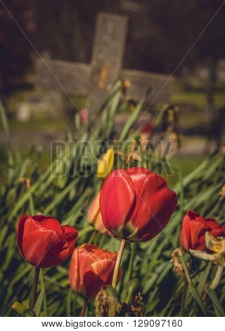 Red tulips growing on the old forgotten grave in a cementery in England