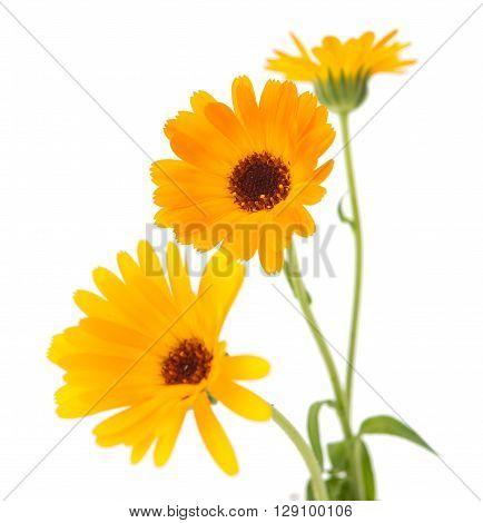marigold flowers on a white backgrounde,macro, marigold,