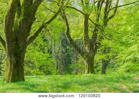 Fragment of the park with old deciduous trees with trunks covered by moss in the spring morning
