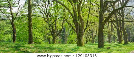 Panorama of the park with old deciduous trees with trunks covered by moss in the spring morning
