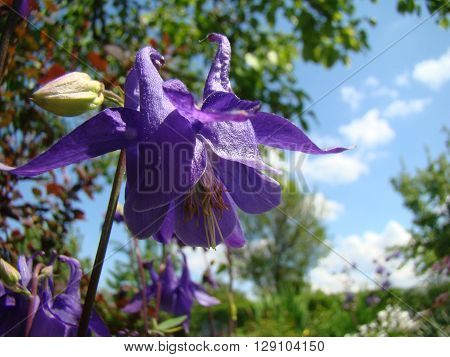 Aquilegia blooming flower of purple color,herbaceous perennial plant