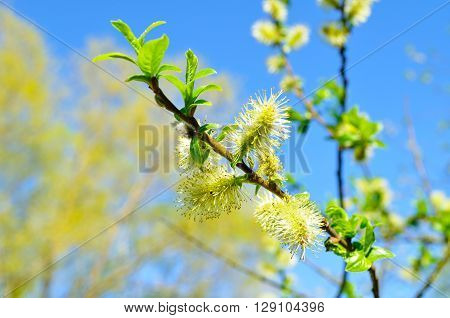 Closeup of yellow fluffy buds of willow against the blue sky. Spring sunny natural landscape. Selective focus at the central buds. Shallow depth of field.