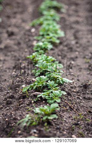 Closeup of a row of small potato plants in the garden
