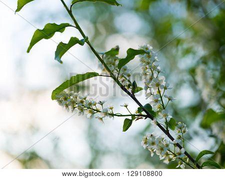 Beautiful Bird Cherry Flowers