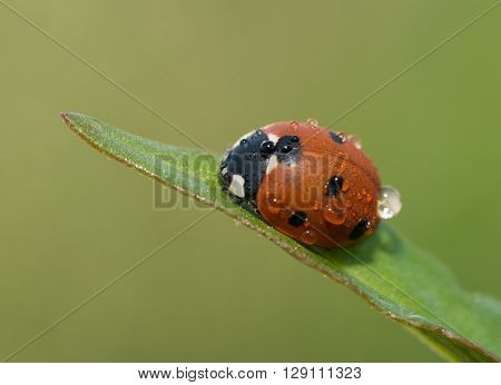 Ladybug on a grass leaf with morning dew