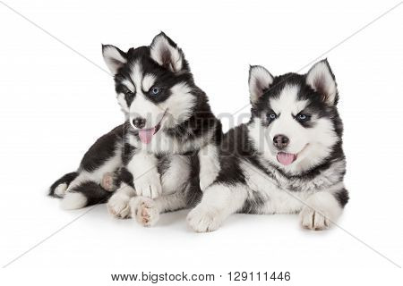 Two purebred Siberian Husky puppies isolated on white background
