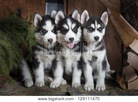 Portrait of purebred Siberian Husky puppies indoors