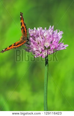 Orange-black tortoise butterfly(Vanessa urticae) on a lilac flower chives(Allium schoenoprasum) on a blurred green background close-up