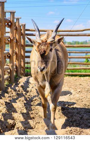 Antelope Eland Animal